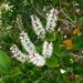 Weinmannia racemosa - Photo (c) Murray NZ, algunos derechos reservados (CC BY), uploaded by Murray Dawson