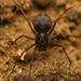 Scytodes elizabethae - Photo (c) Ruan Booysen,  זכויות יוצרים חלקיות (CC BY-NC)