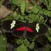 Heliconius himera - Photo (c) Felix Fleck, μερικά δικαιώματα διατηρούνται (CC BY-NC)