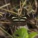 Heliconius peruvianus - Photo (c) Felix Fleck, μερικά δικαιώματα διατηρούνται (CC BY-NC)