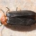 Luciola mingrelica - Photo (c) lamprisdimitris, algunos derechos reservados (CC BY-NC)