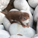 Least Weasel - Photo (c) Yersinia pestis, some rights reserved (CC BY-NC-SA)