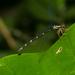 Rhipidolestes aculeatus - Photo (c) Liu JimFood, algunos derechos reservados (CC BY-NC)