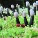 Holwaya mucida - Photo (c) mycowalt, algunos derechos reservados (CC BY-SA)