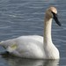 Trumpeter Swan - Photo (c) Bonnie Kinder, some rights reserved (CC BY-NC)