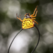 Macracantha - Photo (c) Felix Fleck, some rights reserved (CC BY-NC)