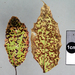 Mahonia Rust - Photo (c) Jerry, some rights reserved (CC BY), uploaded by Jerry Cooper