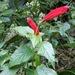 Centropogon coccineus - Photo (c) Mark Fishbein, algunos derechos reservados (CC BY-NC)