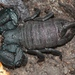 Cape Docile Scorpion - Photo (c) Alex Rebelo, some rights reserved (CC BY-NC)