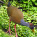 Gray-cowled Wood-Rail - Photo (c) Ross Millikan, some rights reserved (CC BY-NC)