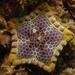 Tosia australis - Photo (c) Wayne Martin, alguns direitos reservados (CC BY-NC)