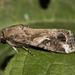 Spodoptera frugiperda - Photo (c) Alenilson, osa oikeuksista pidätetään (CC BY-NC)