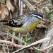 Pardalotus punctatus - Photo (c) Wayne Martin, algunos derechos reservados (CC BY-NC)