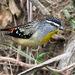 Spotted Pardalote - Photo (c) Wayne Martin, some rights reserved (CC BY-NC)