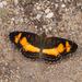 Telenassa teletusa - Photo (c) Arnold Wijker, algunos derechos reservados (CC BY-NC)