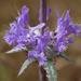Salvia carduacea - Photo (c) randomtruth, algunos derechos reservados (CC BY-NC-SA)