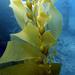 Algas Pardas Y Parientes - Photo (c) NOAA's National Ocean Service, algunos derechos reservados (CC BY-SA)