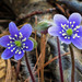 Hepaticas - Photo (c) Jason King, some rights reserved (CC BY-NC)