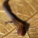 Iphisa elegans - Photo (c) Roger Le Guen, algunos derechos reservados (CC BY-NC-SA)