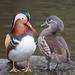 Patos, Pijijes, Gansos Y Cisnes - Photo (c) Francis C. Franklin, algunos derechos reservados (CC BY-SA)