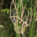 Settler's Flax - Photo (c) Melburnian, some rights reserved (CC BY)