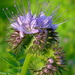 Lacy Phacelia - Photo (c) Laura O'Halloran, some rights reserved (CC BY-NC-ND)