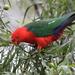 Papagayo Australiano - Photo (c) Carole Riley, algunos derechos reservados (CC BY-NC)