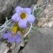 Phacelia fremontii - Photo (c) Jeremy Yoder, μερικά δικαιώματα διατηρούνται (CC BY-NC)