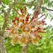 Laeliinae - Photo (c) thibaudaronson,  זכויות יוצרים חלקיות (CC BY-SA)