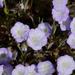 Phacelia douglasii - Photo (c) randomtruth, algunos derechos reservados (CC BY-NC-SA)