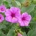 Mirabilis multiflora - Photo (c) Jerry Oldenettel, algunos derechos reservados (CC BY-NC-SA)