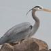 Great Blue Heron - Photo (c) Jordan Broadhead, some rights reserved (CC BY-NC)