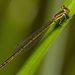 Agriocnemis rubricauda - Photo (c) christopherburwell, algunos derechos reservados (CC BY-NC)