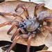 Euctenizidae - Photo (c) Marshal Hedin, μερικά δικαιώματα διατηρούνται (CC BY-NC)