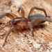 Falsas Arañas Lobo - Photo (c) Marshal Hedin, algunos derechos reservados (CC BY-NC)