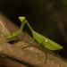 Stagmatoptera septentrionalis - Photo (c) frederico_salles, algunos derechos reservados (CC BY-NC)