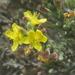 Hudsonia tomentosa - Photo (c) ttadevosyan, osa oikeuksista pidätetään (CC BY), uploaded by Tigran Tadevosyan
