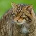 Gato Montés Euroasiático - Photo (c) Peter Trimming, algunos derechos reservados (CC BY)
