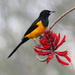 Black-vented Oriole - Photo (c) Will Stuart, some rights reserved (CC BY-NC)