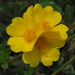 Wing-pod Portulaca - Photo (c) 葉子, some rights reserved (CC BY-NC-ND)