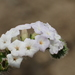 Indian Heliotrope - Photo (c) 葉子, some rights reserved (CC BY-NC-ND)