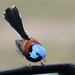 Lovely Fairywren - Photo (c) Malcolm Tattersall, some rights reserved (CC BY-NC-SA)