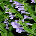 Norfolk Skullcap - Photo (c) Danio Miserocchi, some rights reserved (CC BY-NC)