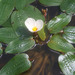 Ottelia ovalifolia - Photo (c) Mike Lusk, algunos derechos reservados (CC BY-NC)