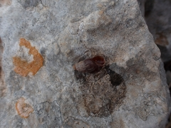 Tudorella ferruginea image
