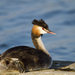 Great Crested Grebe - Photo (c) Chris Moody, some rights reserved (CC BY-NC)
