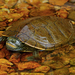 Northern Map Turtle - Photo (c) Peter Paplanus, some rights reserved (CC BY)