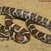Falsa Coralillo Real Oriental Estadounidense - Photo (c) Todd Pierson, algunos derechos reservados (CC BY-NC-SA)