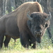 Wood Bison - Photo (c) sydcannings, some rights reserved (CC BY-NC)