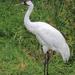 Grulla Blanca - Photo (c) Sasata, algunos derechos reservados (CC BY-SA)
